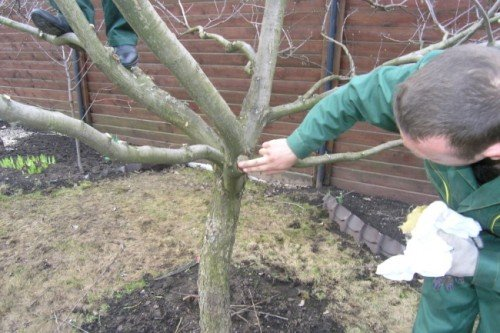 Обработка места среза садовым варом