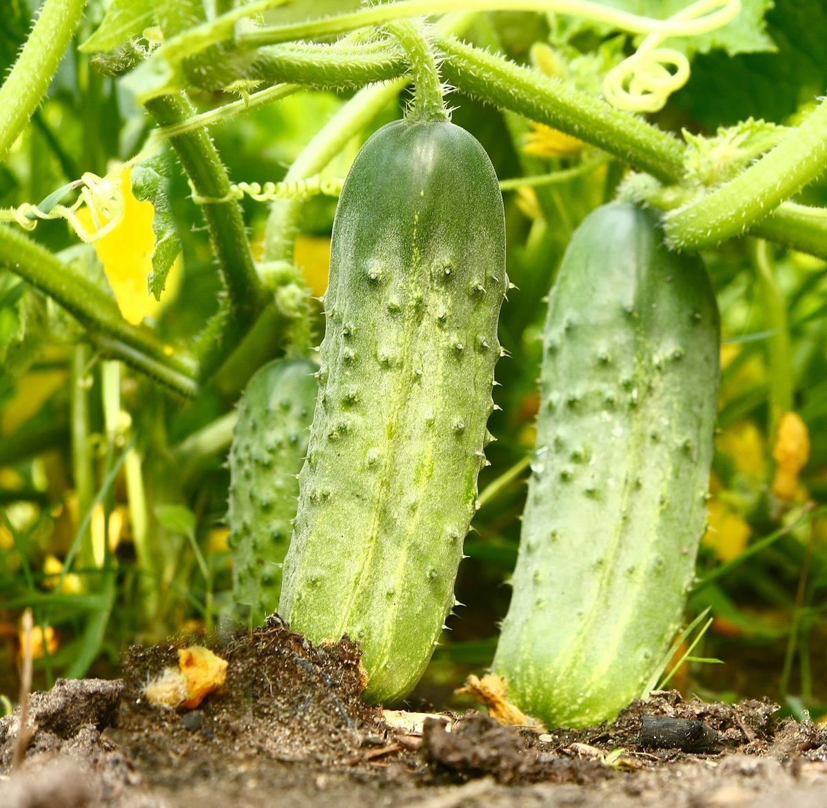 Огурец семена своими руками