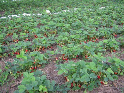 Полосы посадок садовой земляники