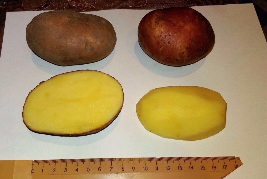 картофель белорусский описание сорта фото