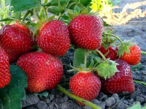 Созревшие плоды Клери