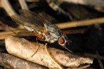 Малинная стеблевая муха