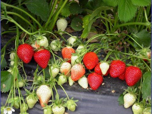 Выращивание садовой земляники на плёнке