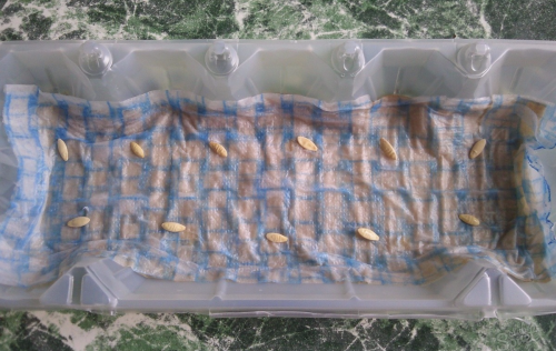 Замачивание семян огурцов