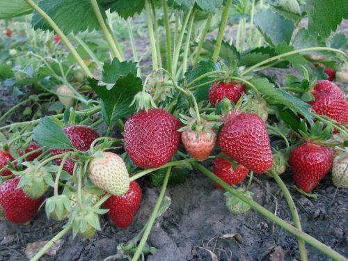 Зреющие ягоды Клери