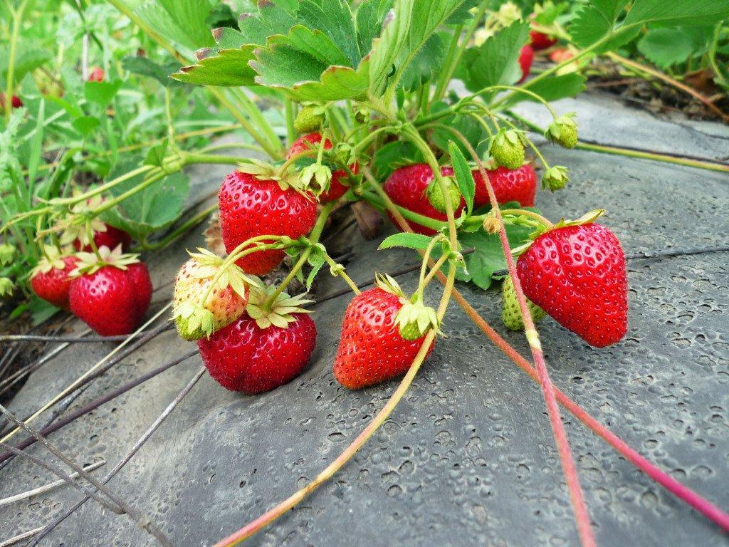 Удобрение клубники после сбора урожая