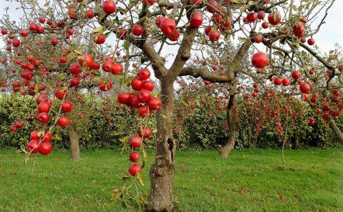 Урожай на карликовой яблоне