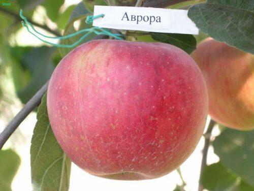 Яблоня Аврора крымская