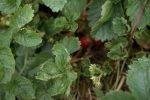 Нездоровые листья земляники