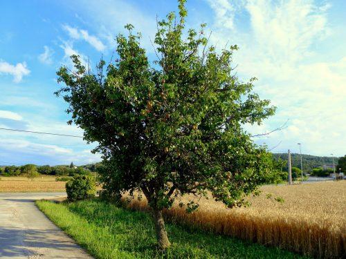Дерево груши сорта Маргарита Марилья