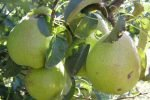 Сорт груши Изюминка Крыма