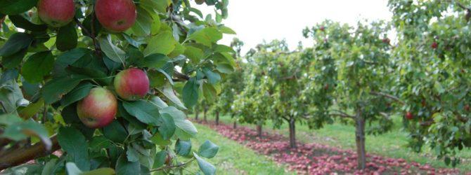 Карликовая яблоня Братчуд: описание сорта, фото
