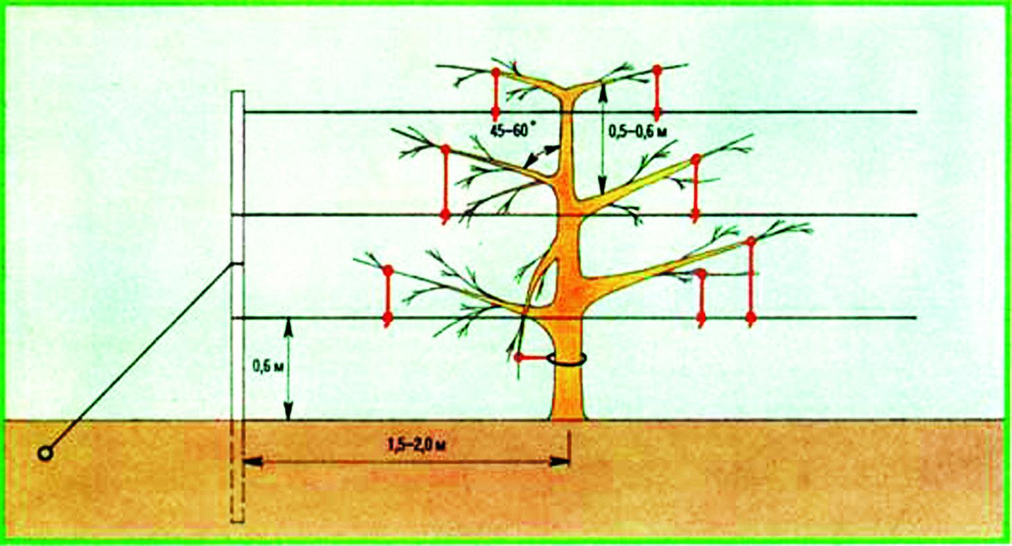 Карликовые яблони схема посадки