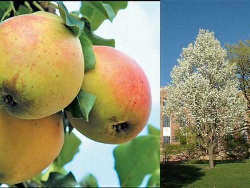 Плоды груши и цветущее дерево