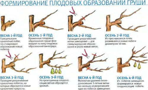 Схема ежегодной обрезки молодой груши