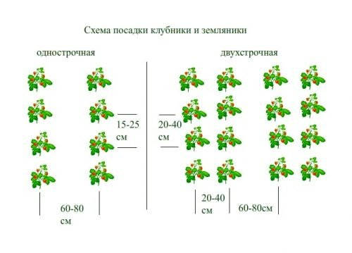 Схема посадки земляники и клубники
