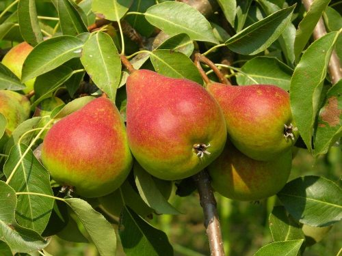 Яркие груши на дереве