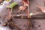 Размножение садовой земляники делением куста