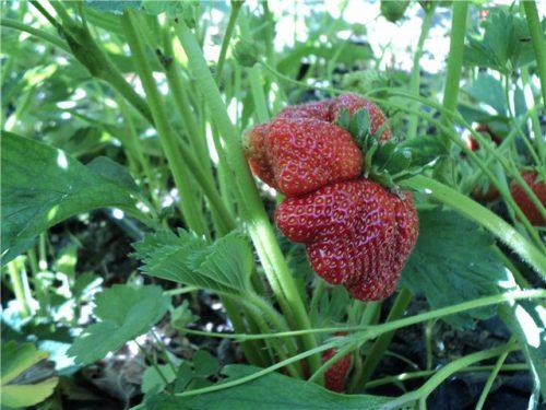 Изменённая ягода сорта Дарселект