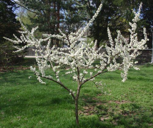 Молодое дерево алычи сорта Путешественница