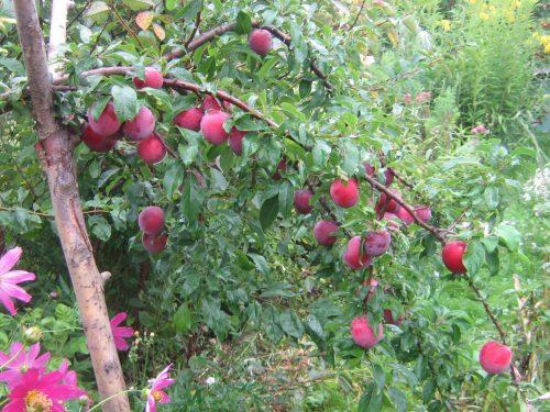 Плоды алычи сорта Путешественница
