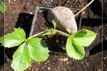 Размножение садовой земляники розетками