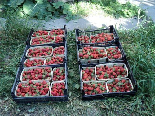 Урожай садовой земляники Дарселект