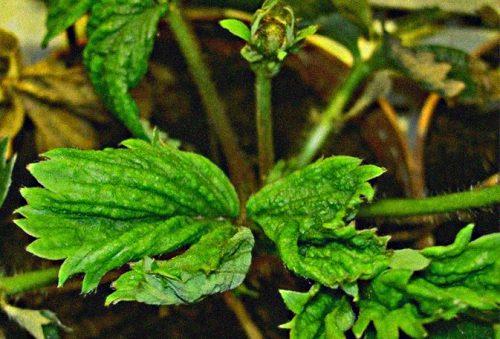 Земляничный клещ прячется под листьями