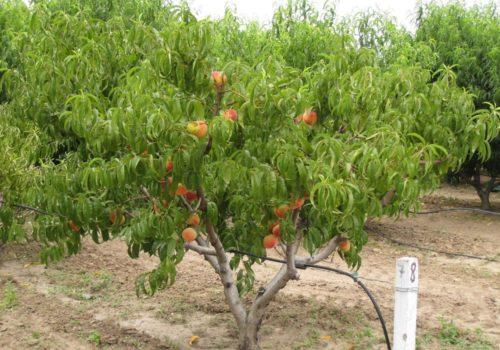 Дерево персика сорта Редхейвен