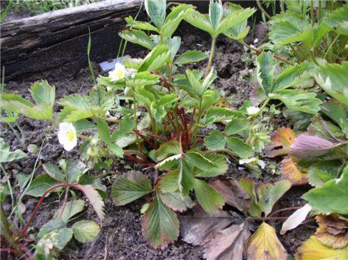 Кусты садовой земляники, поражённые нематодой