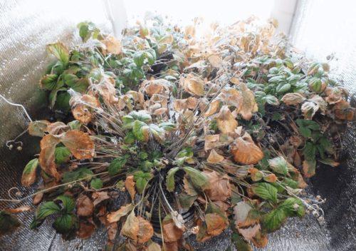 Листья, поражённые земляничным клещом