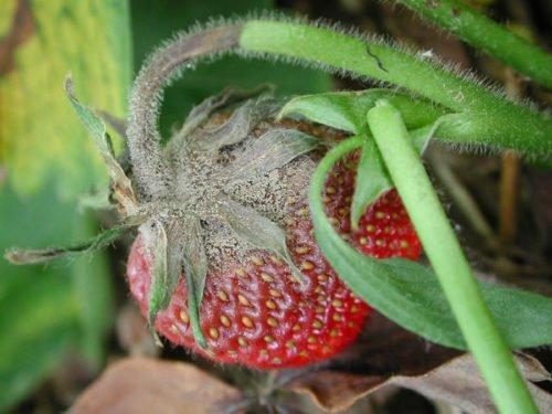 Плод с серой гнилью