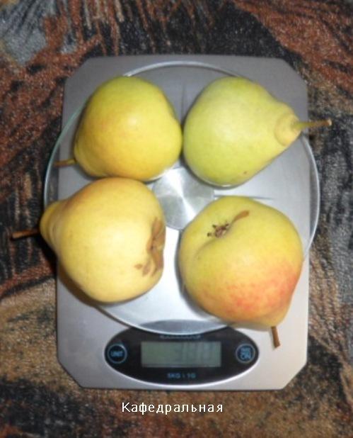 Плоды груши Кафедральная
