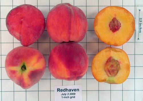 Плоды персика сорта Редхейвен