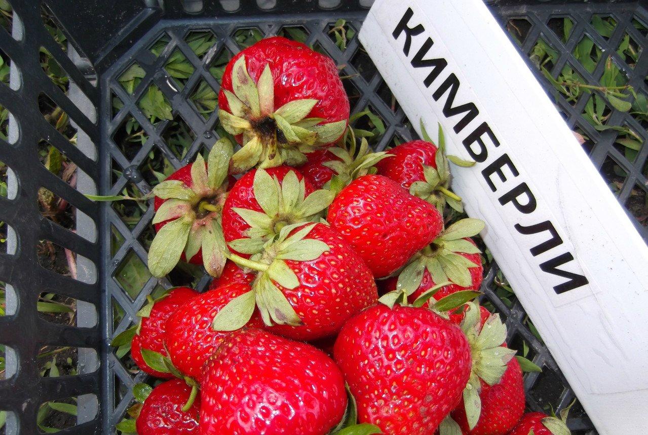 Садовая земляника Кимберли