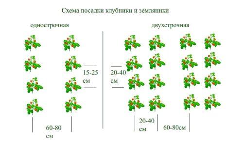 Схема посадки садовой земляники