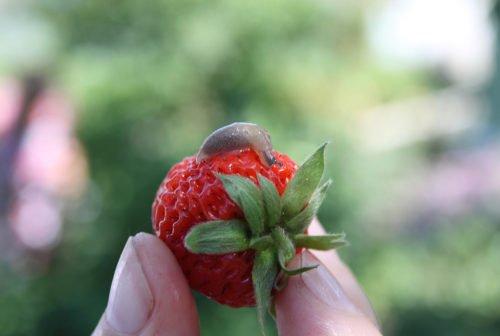 Слизень на садовой землянике