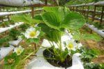 Кусты Кимберли в период цветения