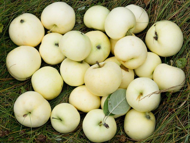 Картинки по запросу яблоки белый налив