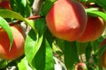 Персик сорта Бархатистый