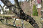 Цитоспороз груши