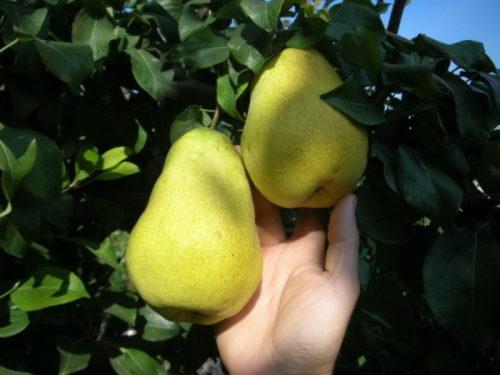 Плоды груши Медовой