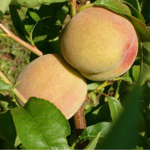 Плоды персика сорта Киевский ранний