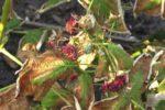 Ржавчина малины