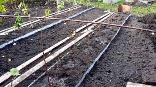 Саженцы малины на огороде