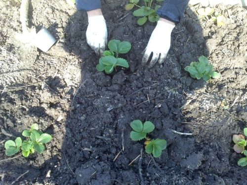 Саженцы садовой земляники