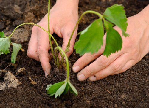 Саженец садовой земляники в грунте