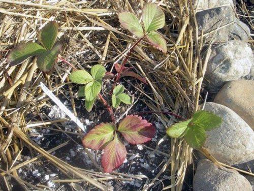 Удобрения у корней садовой земляники