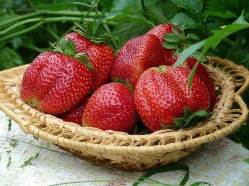 Урожай садовой земляники Машеньки
