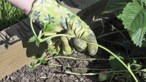 Усики садовой земляники
